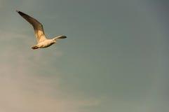 Fliegen eines Vogels Lizenzfreies Stockbild
