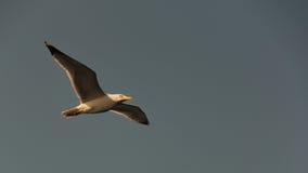 Fliegen eines Vogels Stockfotos