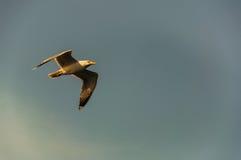 Fliegen eines Vogels Lizenzfreie Stockfotos