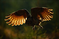 Fliegen-Eurasier Eagle Owl mit offenen Flügeln im Waldlebensraum, Foto mit Rücklicht, Vogelactionszene im Wald, dunkler Morgen Lizenzfreie Stockfotografie