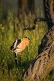 Fliegen eurasischer Hoopoe Upupa Epops Stockfotos