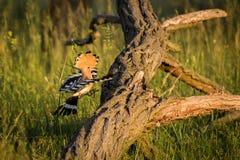 Fliegen eurasischer Hoopoe Upupa Epops Lizenzfreie Stockfotos
