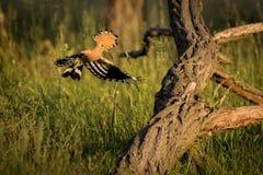 Fliegen eurasischer Hoopoe Upupa Epops Lizenzfreie Stockfotografie