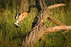 Fliegen eurasischer Hoopoe Upupa Epops Lizenzfreie Stockbilder