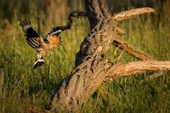 Fliegen eurasischer Hoopoe Upupa Epops Stockbilder