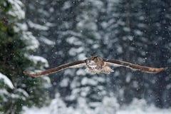 Fliegen-eurasischer Uhu mit offenen Flügeln mit Schneeflocke im schneebedeckten Wald während des kalten Winters Stockbild