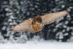 Fliegen-eurasischer Uhu mit offenen Flügeln mit Schneeflocke im schneebedeckten Wald während des kalten Winters Stockfotos