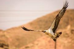 Fliegen-Falke Lizenzfreies Stockfoto