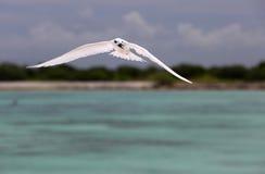 Fliegen-feenhafter Seeschwalben-Vogel Lizenzfreies Stockbild