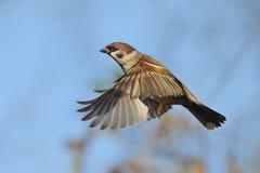 Fliegen-Feldsperling gegen hellen Hintergrund des blauen Himmels Stockfotografie