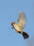Fliegen-Feldsperling gegen hellen Hintergrund des blauen Himmels Lizenzfreies Stockfoto