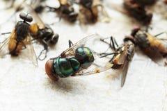 Fliegen fingen auf Papierfalle s der klebrigen Fliege stockfotos