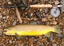 Fliegen-Fischen, Fliege Rod, Bandspule und große Brown-Forelle stockbilder
