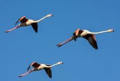 Fliegen-Flamingo Stockfotografie