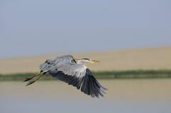 Fliegen Grey Heron über dem See Stockfotos