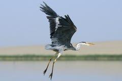 Fliegen Grey Heron mit aufgerichteten Flügeln und unten den Beinen Stockfotografie