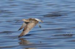 Fliegen-großer Brachvogel am Sharm el-Sheikh-Strand von Rotem Meer Stockfotografie