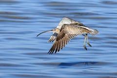 Fliegen-großer Brachvogel am Sharm el-Sheikh-Strand von Rotem Meer Lizenzfreies Stockfoto