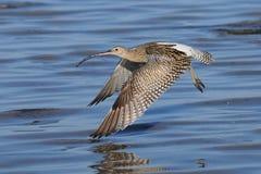 Fliegen-großer Brachvogel am Sharm el-Sheikh-Strand von Rotem Meer Stockfotos