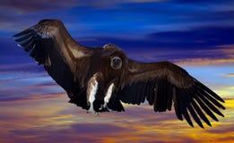 Fliegen Gyps im Himmel Lizenzfreie Stockbilder