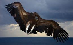 Fliegen Gyps im Himmel Lizenzfreies Stockfoto