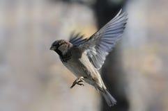 Fliegen-Haussperling Lizenzfreie Stockbilder