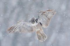 Fliegen Hawk Owl mit Schneeflocke während des kalten Winters Lizenzfreie Stockfotos