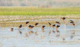 Fliegen hinunter wenig pfeifende Ente Stockfoto