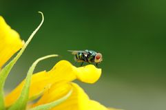 Fliegen-InsektDiptera Lizenzfreies Stockbild