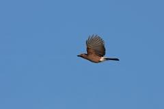Fliegen Jay Lizenzfreies Stockfoto