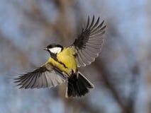 Fliegen-Kohlmeise Lizenzfreie Stockfotos
