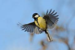 Fliegen-Kohlmeise am hellen Herbsttag Lizenzfreie Stockfotos