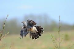 Fliegen-Kuckuck im Frühjahr Lizenzfreies Stockbild