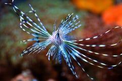 Fliegen Lion Fish im wilden Meer Lizenzfreie Stockfotos