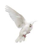 Fliegen lokalisierte weiße Farbtaube stockfotografie