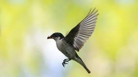 Fliegen-männlicher Trauerschnäpper mit der Zufuhr Lizenzfreie Stockfotos