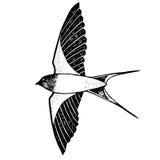 Fliegen mit einen Schwalben Stockbild