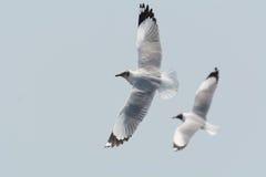 Fliegen mit zwei Seemöwen Lizenzfreie Stockfotos
