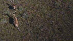 Fliegen nah an den männlichen Rotwild, die in die Glattheit laufen stock video
