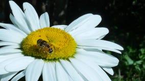 Fliegen- oder Flaschenfliegeninsekt, das auf Kamillenblume sitzt stock video