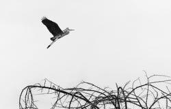 Fliegen-Pelikan Stockbilder