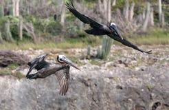 Fliegen-Pelikane stockbild