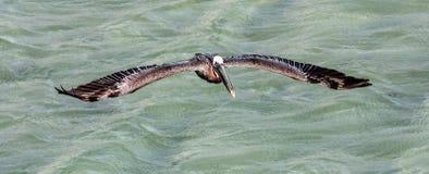 Fliegen-Pelikane stockfotografie