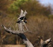 Fliegen Reed Cormorant Stockfotos