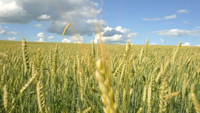 Fliegen schoss über Weizenfeld am sonnigen Sommertag Langsame Bewegung stock video footage