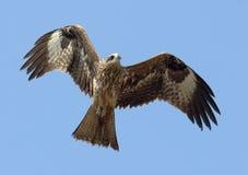 Fliegen-Schwarzmilan am Himmelhintergrund Stockfoto