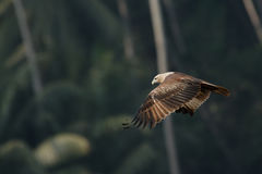 Fliegen-Schwarzmilan am Palmenhintergrund Lizenzfreie Stockfotos