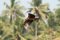 Fliegen-Schwarzmilan am Palmenhintergrund in Goa Stockfotografie