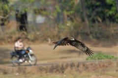 Fliegen-Schwarzmilan und Motorradfahrer in Goa, Indien Lizenzfreie Stockfotografie