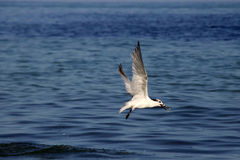Fliegen-Seeschwalbe lizenzfreies stockfoto